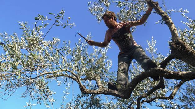 Olive picking near the village of Elea