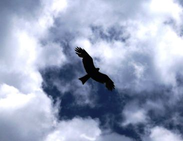 An eagle glides past overhead