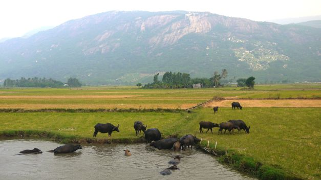 I became very jealous of the water buffalo who could just soak up the heat all day long in the flooded ricefields...