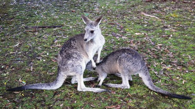 The kangaroos in Halls Gap were the most tame I had encountered on teh trip